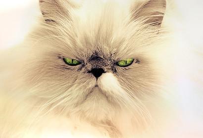 cream coloured Persian cat
